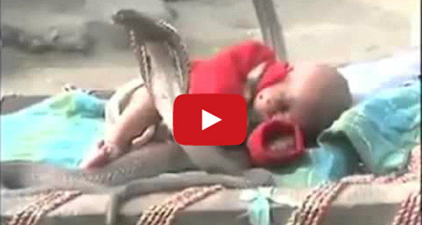 Video Shock: neonata dorme beata in mezzo a quattro cobra reali